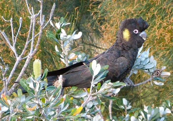 male black cockatoo