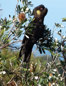 young male black cockatoo
