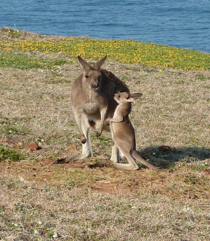 Female grey kangaroo with her young joey.