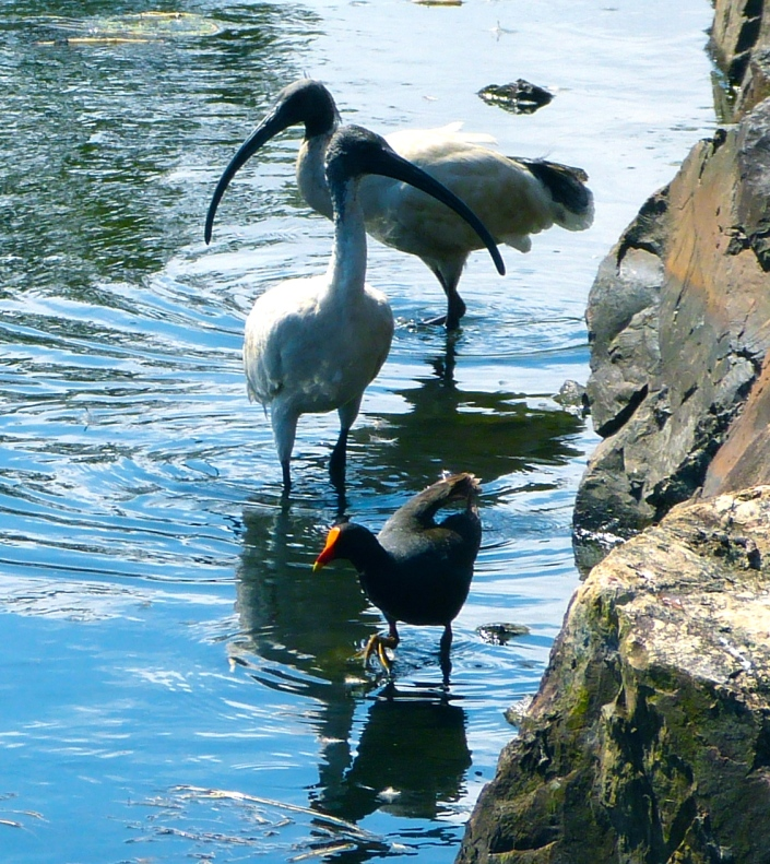 Ibis and Moorhen