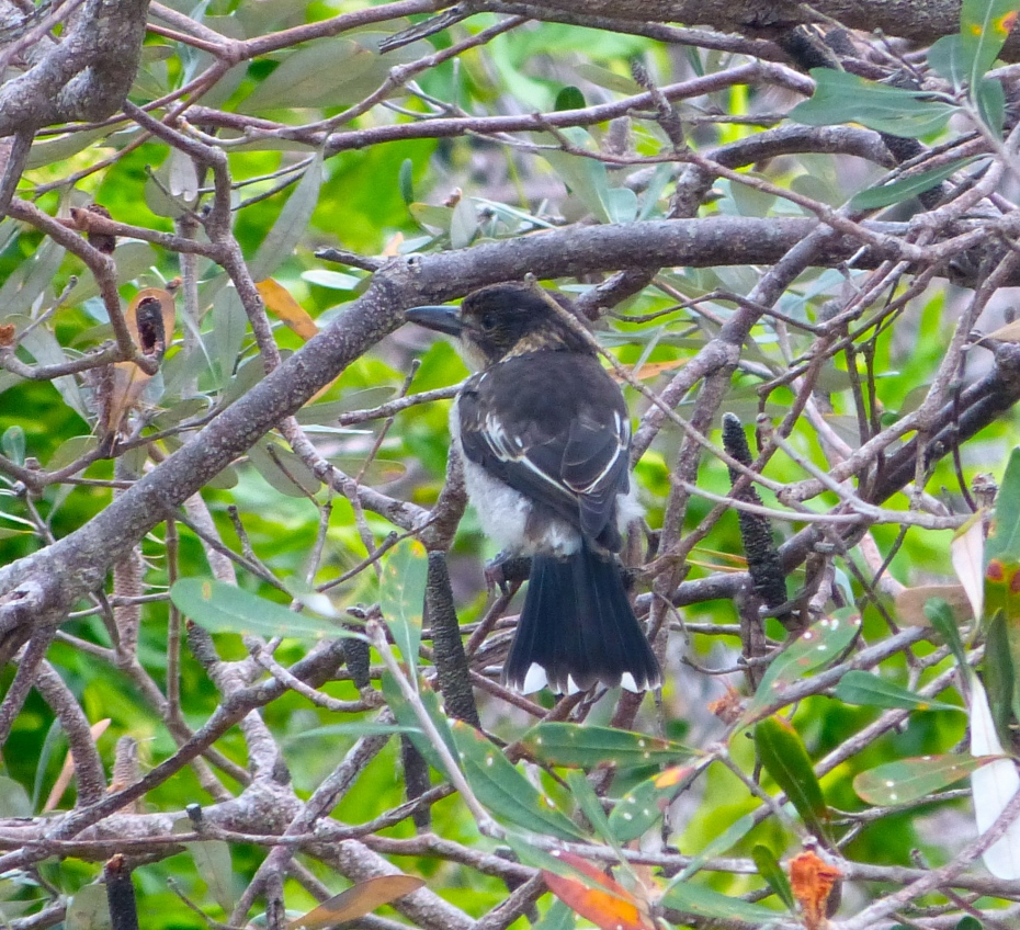 baby butcherbird