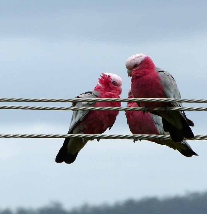 Eastern Galahs checking out the view.