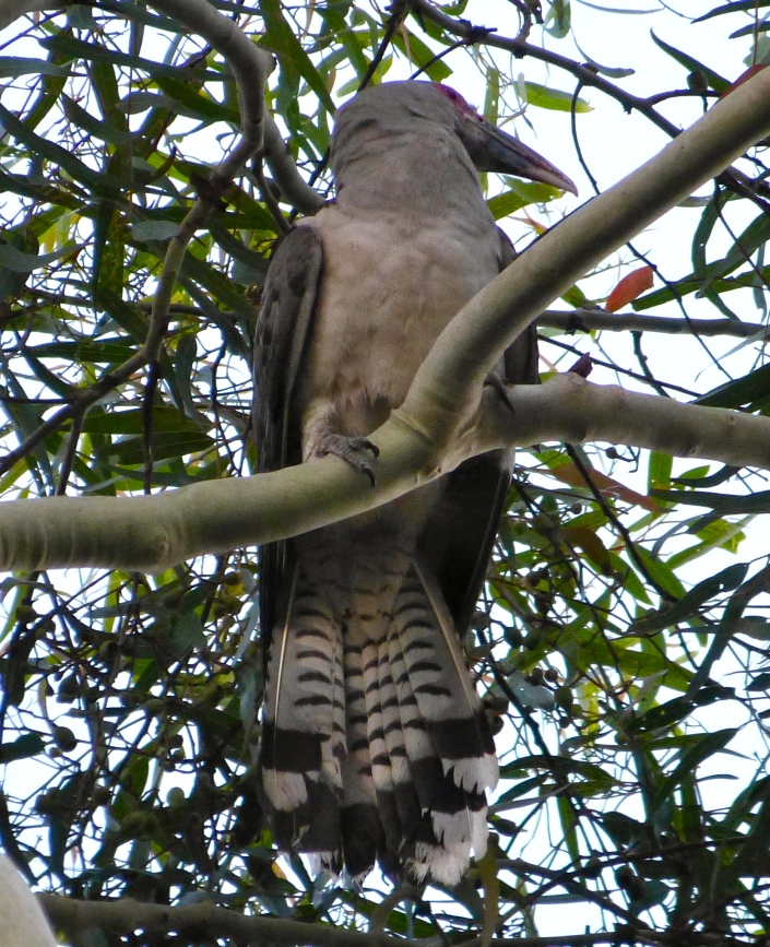 large cuckoo