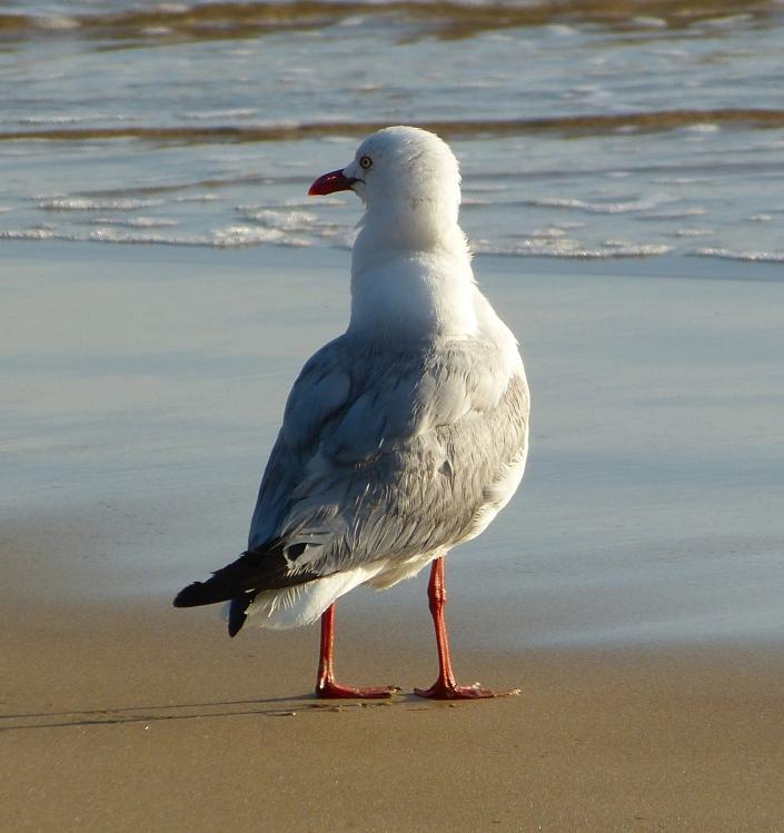 Adult silver gull