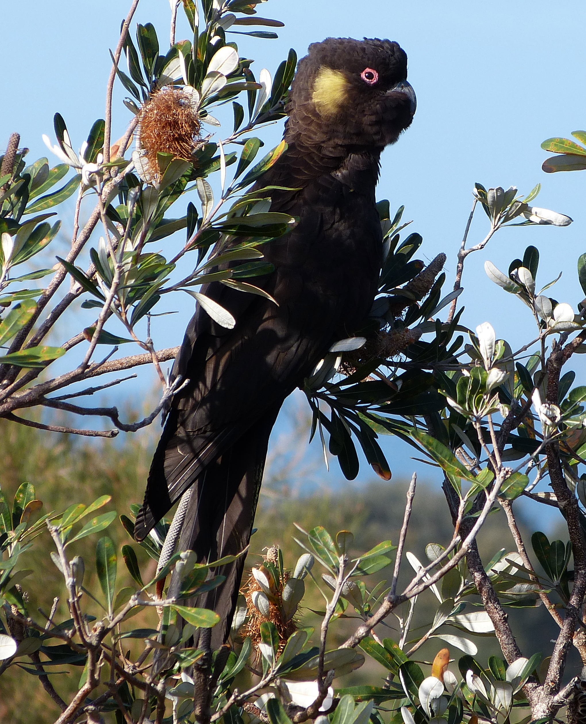 yellow-tailed black-cockatoos | margosnotebook