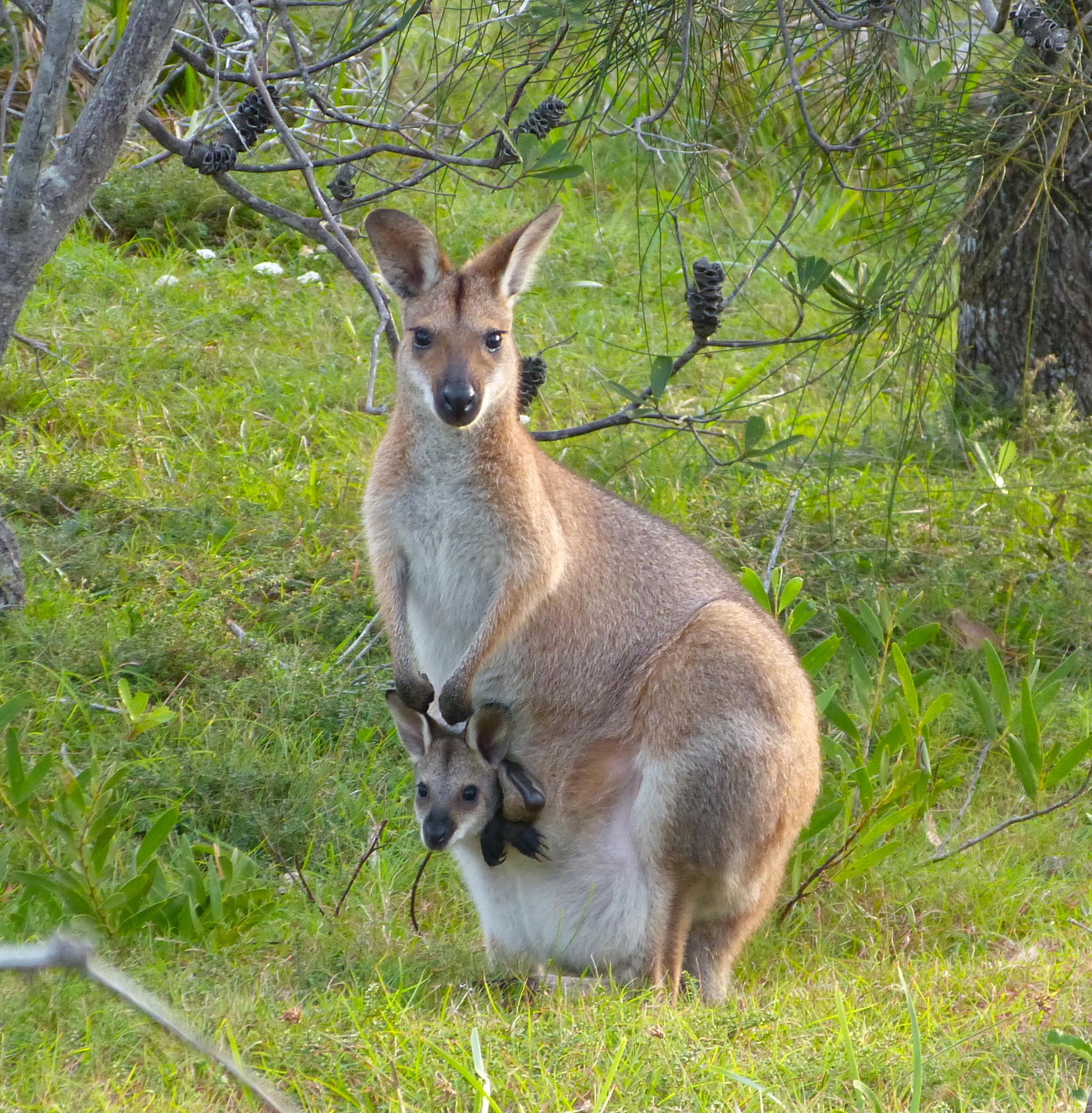 Wallaby Pouch kangaroos | margosnote...