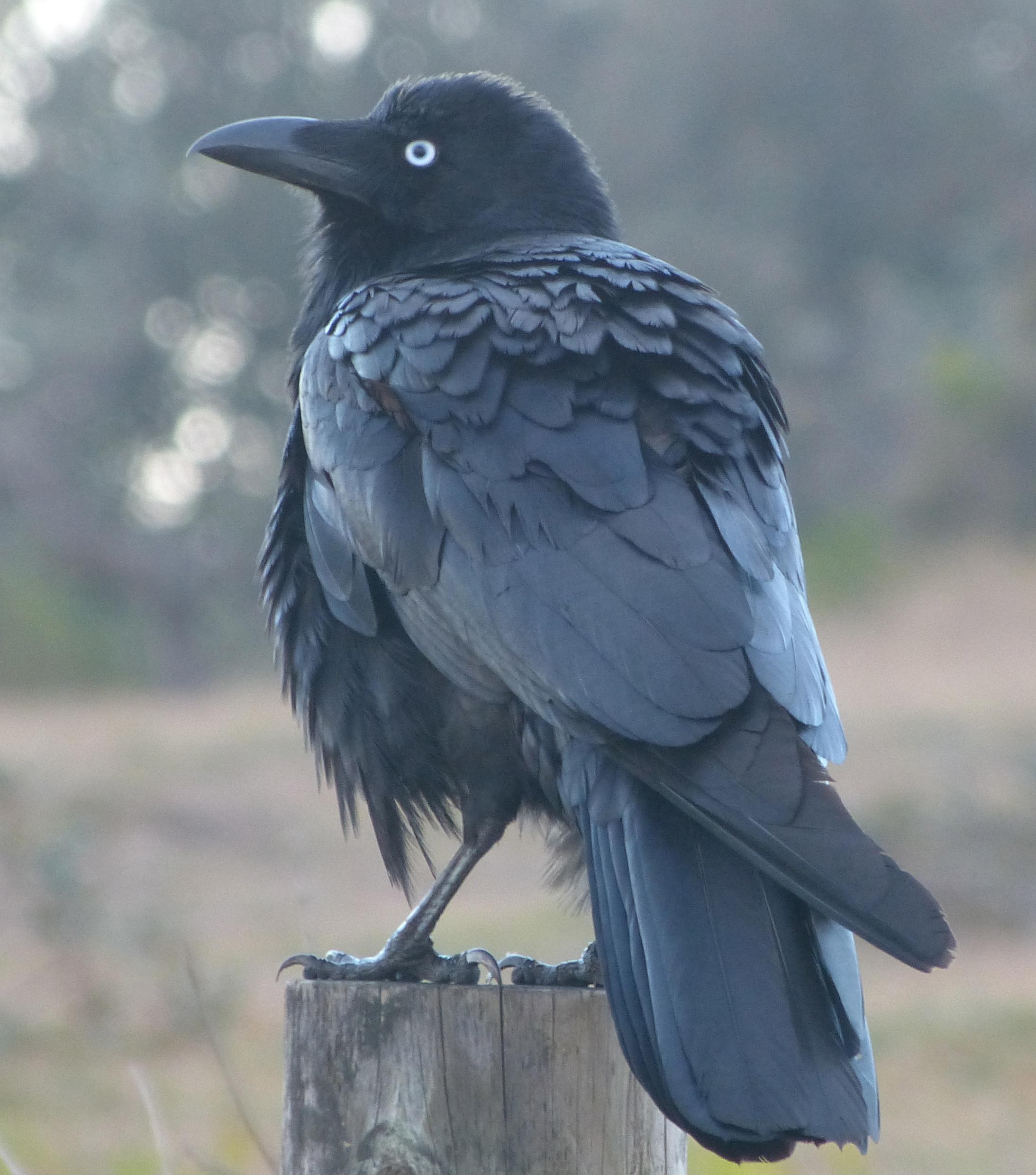 Faerybeads Odin's Raven - Page 3 P1080534