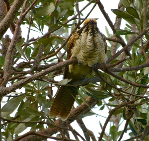 The young Koel's fear is evident in its posture, hunkered down between attacks from Honeyeaters