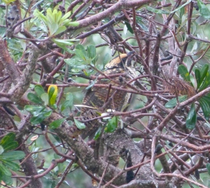 Eastern Koel chick seeks shelter in the branches of a Banksia