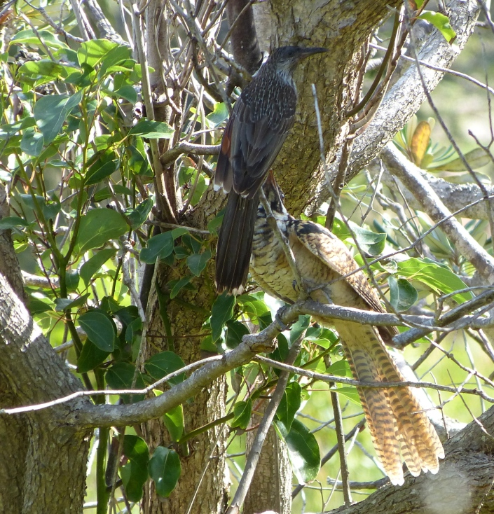 You have to give it to this Little Wattlebird, the juvenile Eastern Koel incessantly demands food from its much smaller 'parent' and the Little Wattlebird works from dawn to dusk tirelessly bringing it food and watching over it.