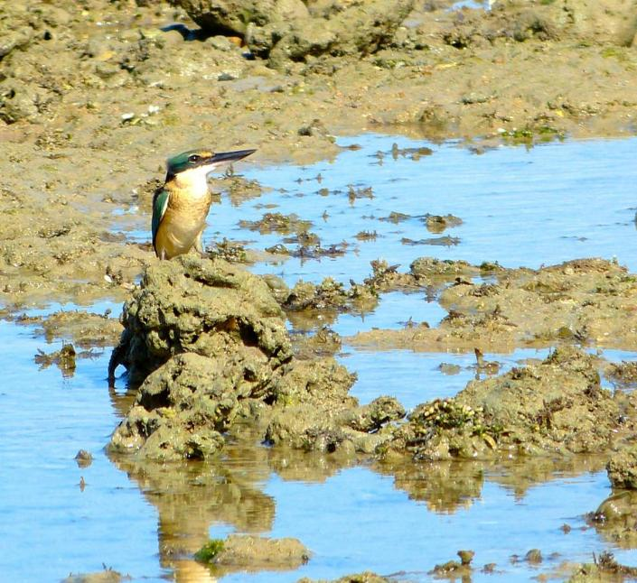 male sacred kingfisher