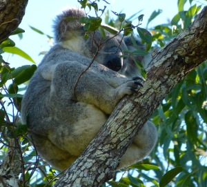 a sleeping koala staking out his territory