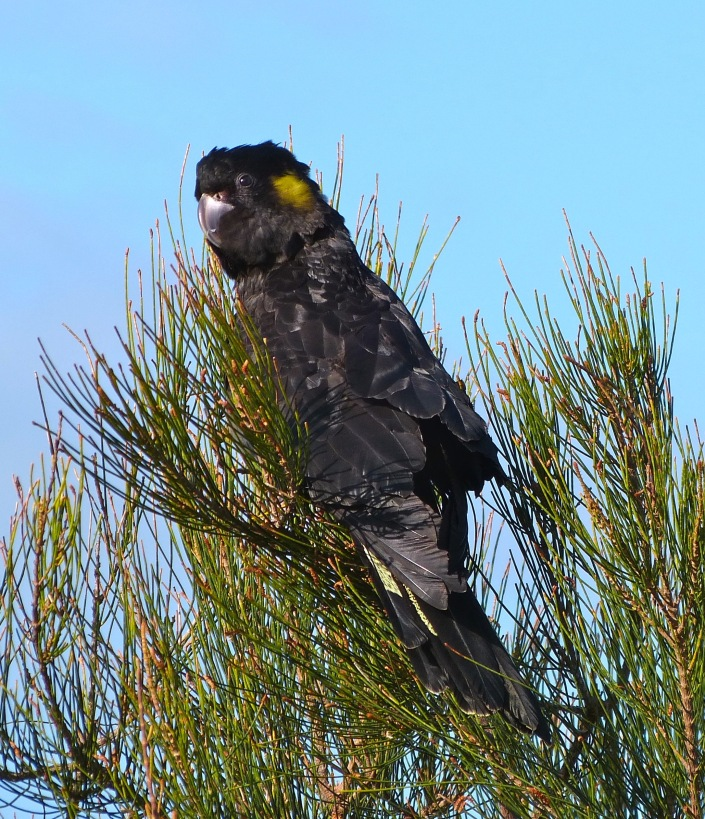 yellow-tailed black-cockatoos « margosnotebook